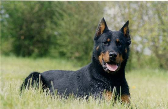 Voici une photo d'un chien de race beauceron, c'est par ce que chez notre